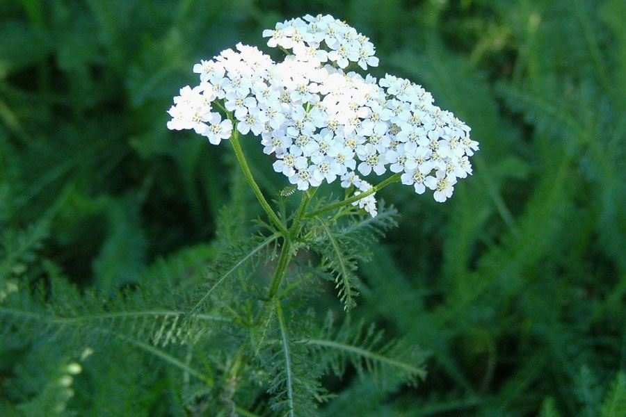 Yarrow, Official (Achillea Millefolium)