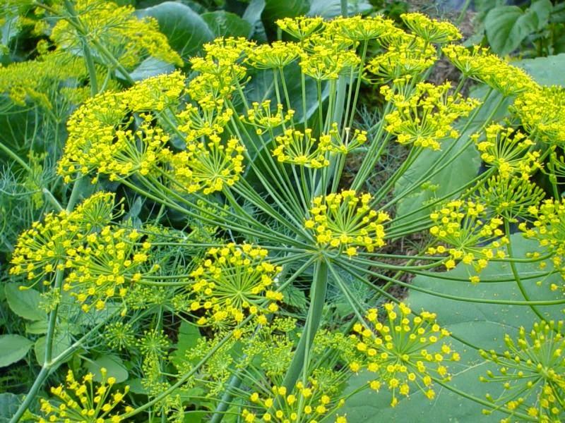 Dill, Bouquet (Anethum Graveolens)