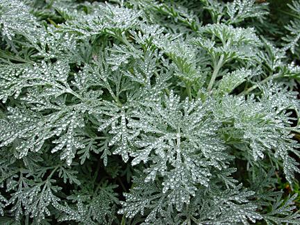 Wormwood, Absinthe (Artemisia Absinthium)