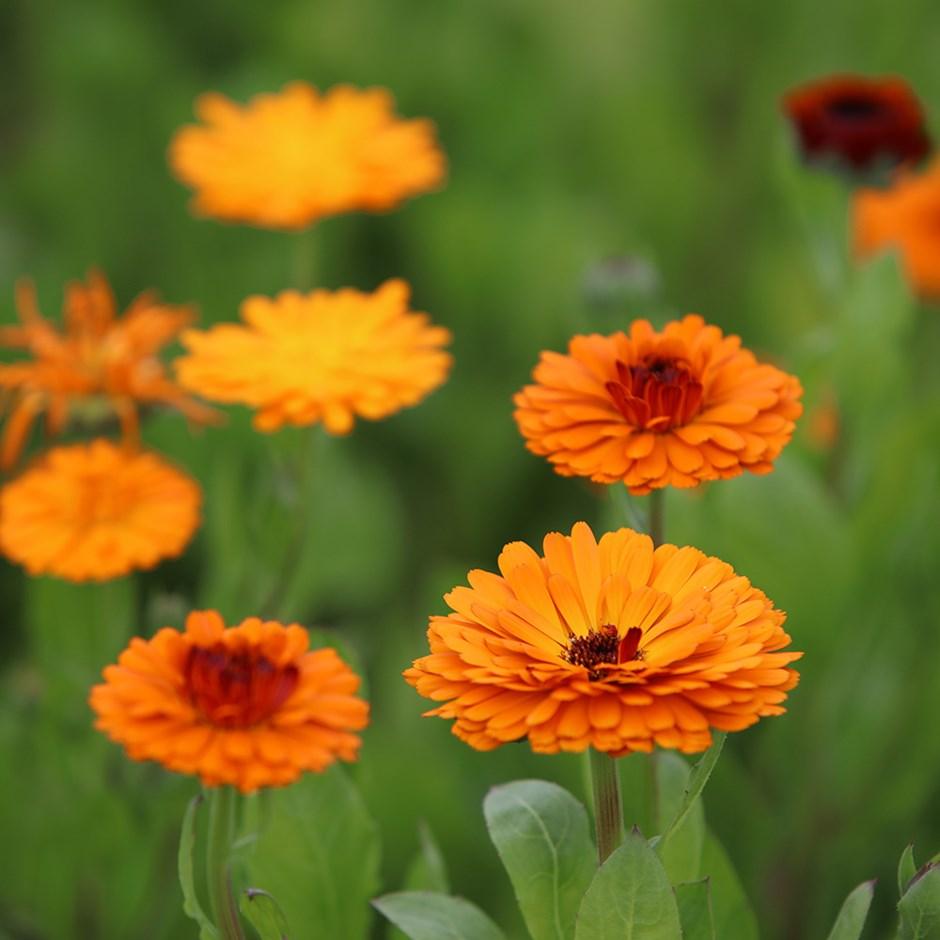 Calendula, Orange (Calendula Officinalis)