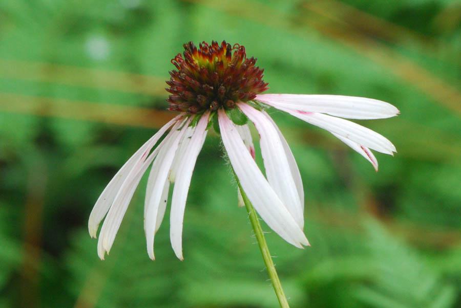 Echinacea (Sanguinea)