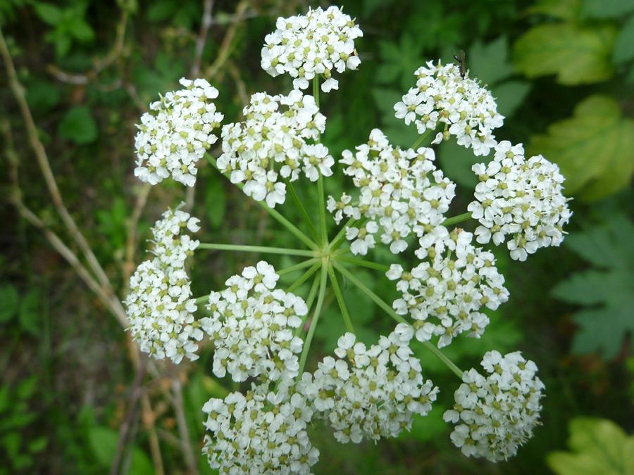 Osha (Ligusticum Porteri)