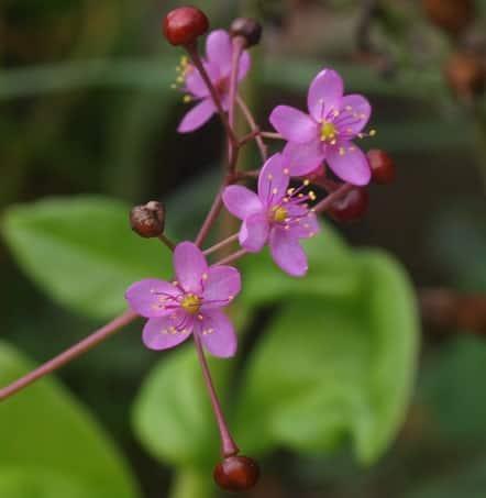 Fame Flower (Talinum paniculatum)
