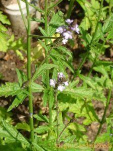 Vervain, European (Verbena officinalis)