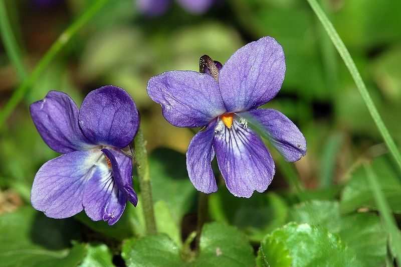 Violet, Sweet (Viola Odorata)