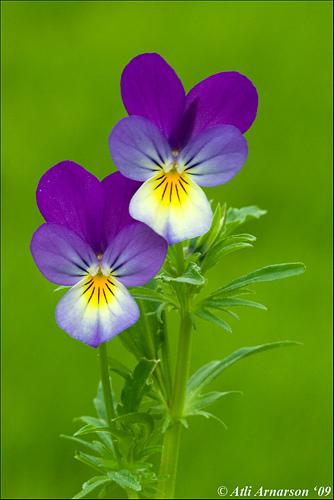 Violet, Heartsease (Viola Tricolor)